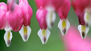rosa Blueten des Tränenden Herz