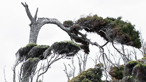 macrocarpa-tree-new-zealand