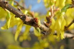 ein Marienkäfer mit Blütenstaub sitzt auf einem Forsythienzweig