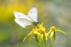 weißer Schmetterling auf gelben Blüten