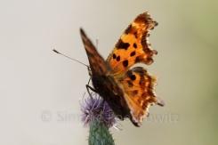 brauner Schmetterling (Polygonia calbum)