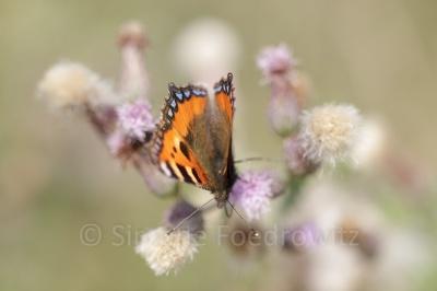 Schmetterling (Kleiner Fuchs) auf lila Distelblüte