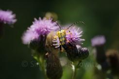 gelb-schwarzer Käfer auf lila Distelblüte