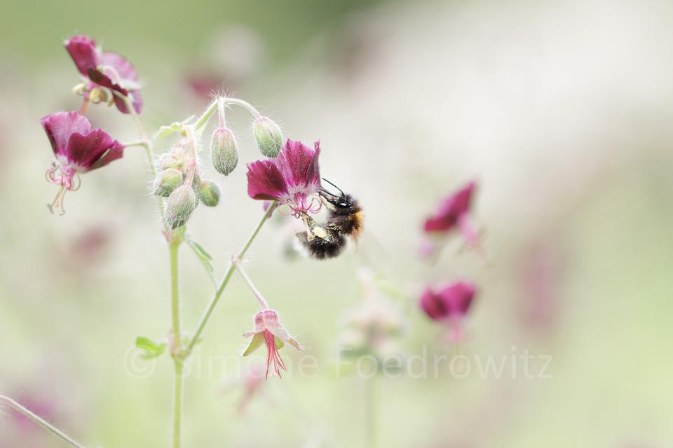 Hummel an Blüte