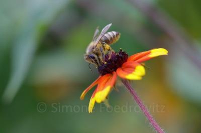 Biene saugt an Blüte