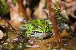 grüner Wasserfrosch im Teich