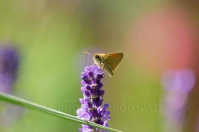 Schmetterling saugend auf Blüte