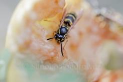 Wespe auf einem Apfel