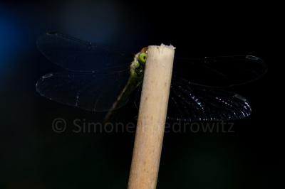 Libelle sitzt auf Stab