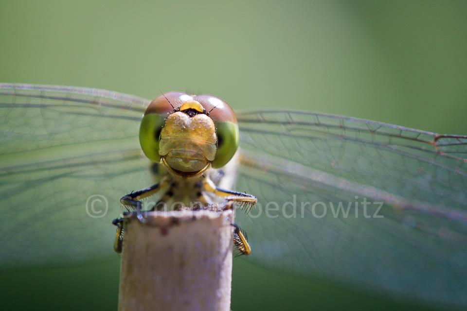 Libelle schaut frontal
