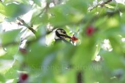 Buntspecht frisst Kirschen im Blätterdach