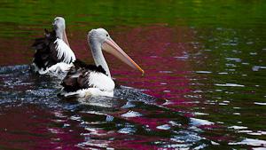 schwimmende-pelikane