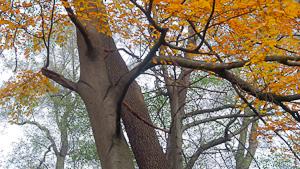 zwei sich umschlingende Bäume mit Herbstlaub