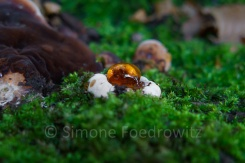 Baumpilz mit Gutationstropfen auf einem mossbewchsenen Baumstamm