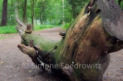 Totholz mit dem Aussehen eines Wildschweinkopfes