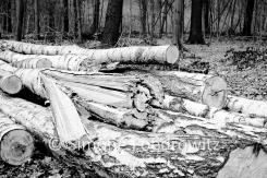 aufeinandergestapelte Birkenstämme, Holzeinschlag