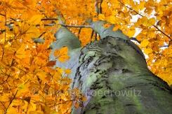 goldene Blätter und Stamm einer Buche