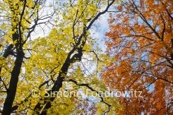 Baumkronen mit Herbstlaub vor blauen Himmel