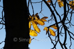 Baumstamm und Kastanienblätter vor blauen Himmel