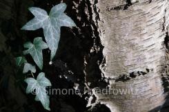 Efeublätter auf einem Birkenstamm