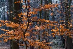 Jungbuche mit Herbstlaub