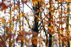 schwarze Baumstämme mit orange leuchtendem Buchenlaub