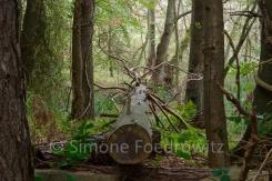 umgestürzter Baum im Darßer Wald