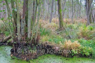 Wassergraben mit Erlen im Darßer Wald