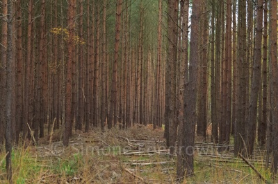 Kiefern im Darßer Wald