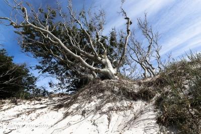 windgebeugter Strauch auf Düne