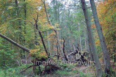 Totholz im Darßer Wald
