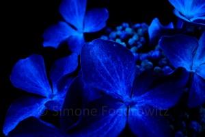 blaue Blüte auf schwarz