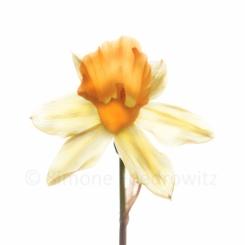 gelbe Osterglockenblüte