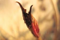rote Blattknospe einer Hortensie