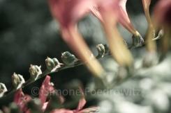 Blüten einer Montbretie