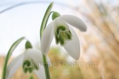 Blüten von Schneeglöckchen