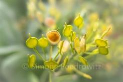 gelbe flache und rundliche Früchte des Felsensteinkrauts