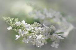 weiße Blütenrispen von Rispenhortensie Kyushu