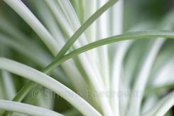 Blätter einer Grünlilie