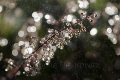 nasser Blütenstand eines Purpurglöckchens
