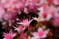 rosa Blüten der Fetthenne (Sedum)