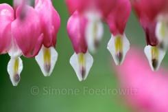 lila Blüten des Tränenden Herz