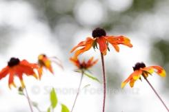 orangefarbene Blüten