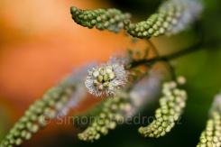 sieben weißblühende Rispen