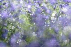 glänzend nassen lila Blüten