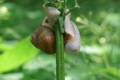 fressende Weinbergschnecke hängt am Pflanzenstengel