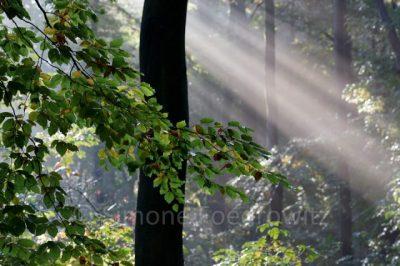 Sonnenstrahl im Wald