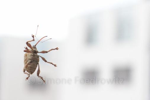 Ein Käfer (Eichelbohrer) an der Fensterscheibe