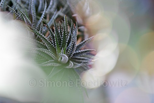 Die sukkulente Staude haworthia fasciata