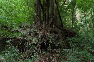 Baumstamm im Lorbeerwald